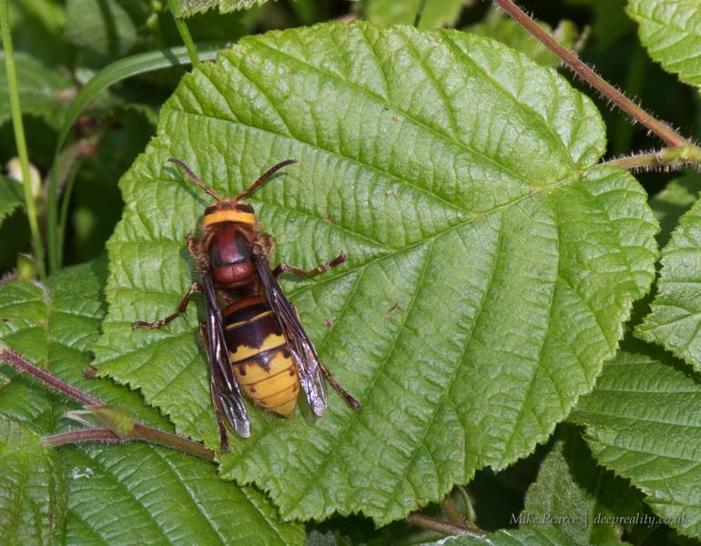 Hornet, female   RSPB Swell Wood