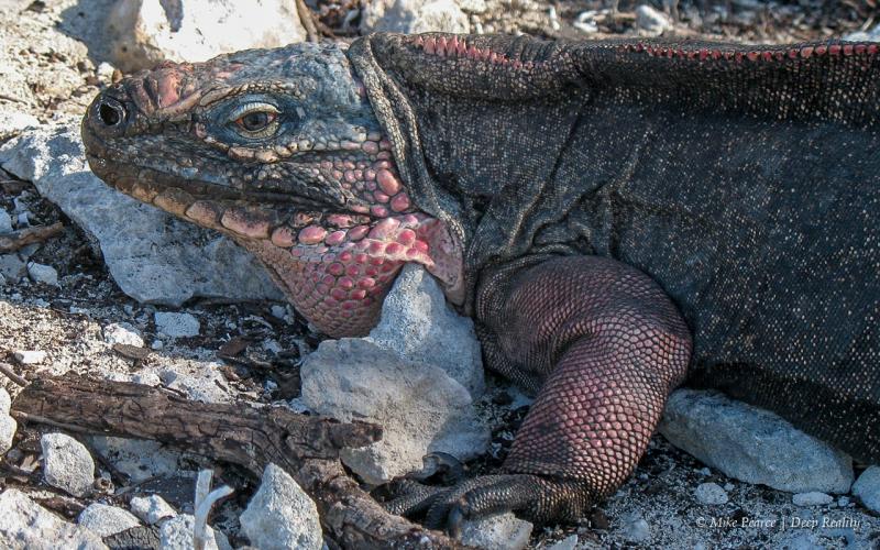 Allen Cays rock iguana (Cyclura cychlura inornata)