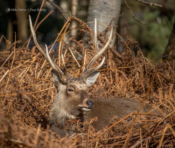 Sika Deer Stag | RSPB Arne
