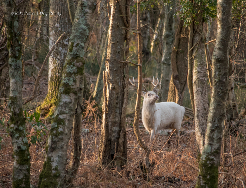 Sika Deer Stag showing leucism | RSPB Arne