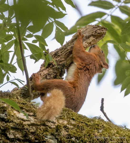 Red Squirrel,  RSPB Loch of Kinnordy, Scotland