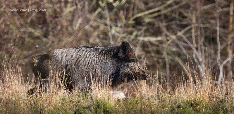 Wild Boar | Forest Of Dean