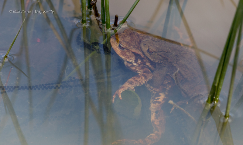 Toads, mating. RSPB Nags Head