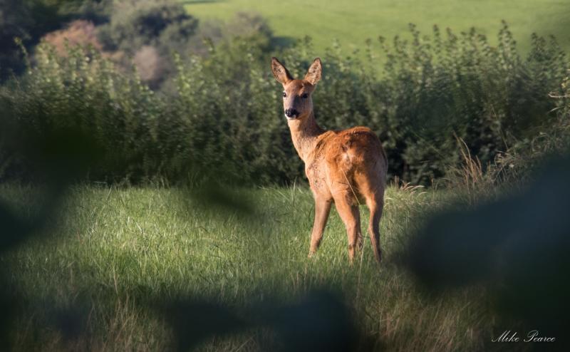 Roe Deer, Somerset