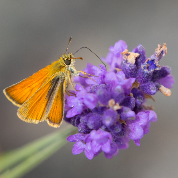 Small skipper butterfly   Somerset