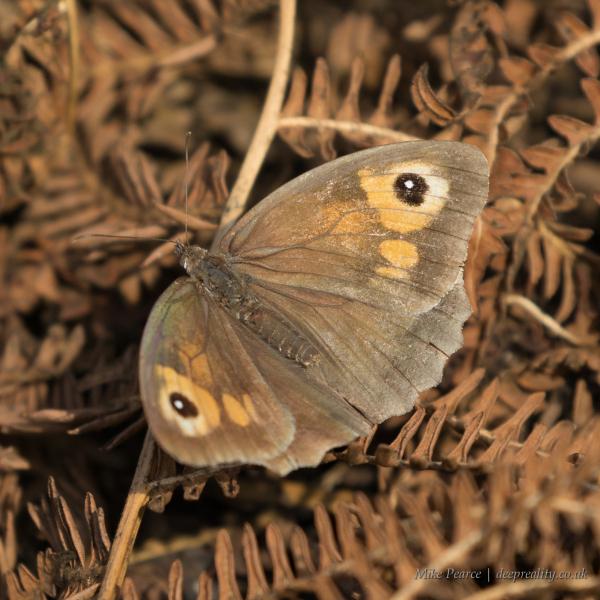 Meadow brown, female   RSPB Ham Wall