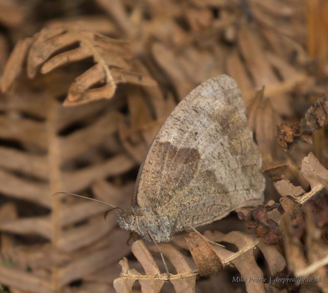 Meadow brown, female, underwing   RSPB Ham Wall