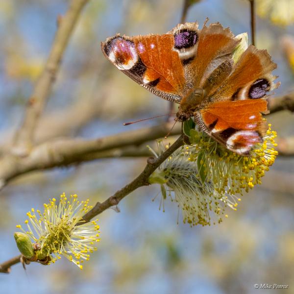 Peacock butterfly | RSPB Ham Wall