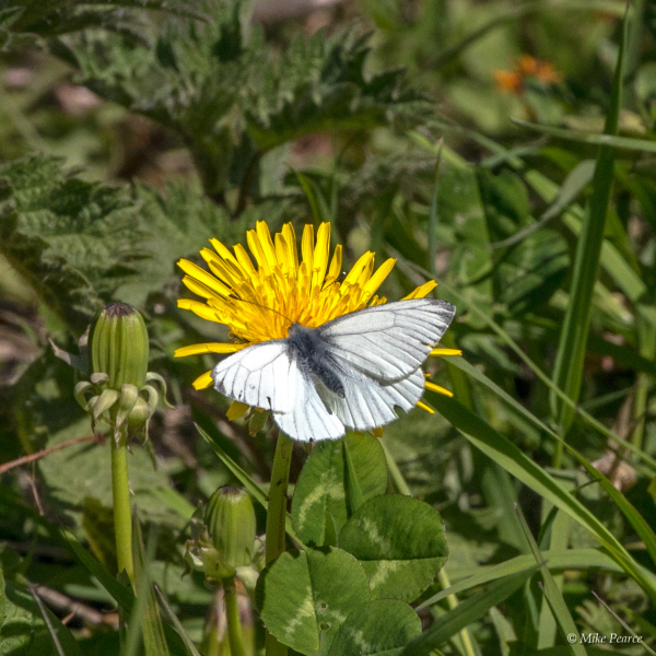 Green-veined white butterfly | RSPB Ham Wall