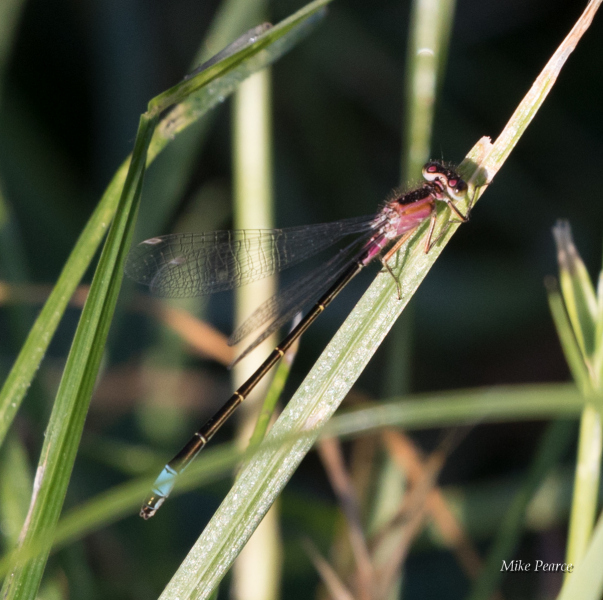 Blue-tailed damselfly, female, red colour form