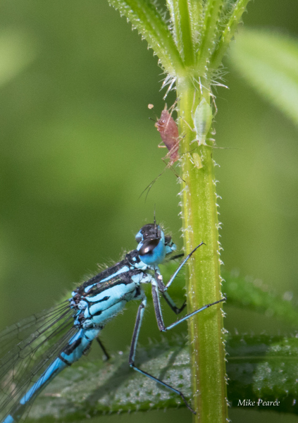 Azure damselfly with aphids