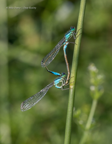 Blue-tailed Damselflies, mating