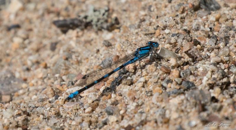 Common Blue Damsel Fly