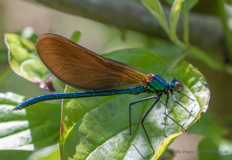 Beautiful demoiselle, male | Seaton Wetlands