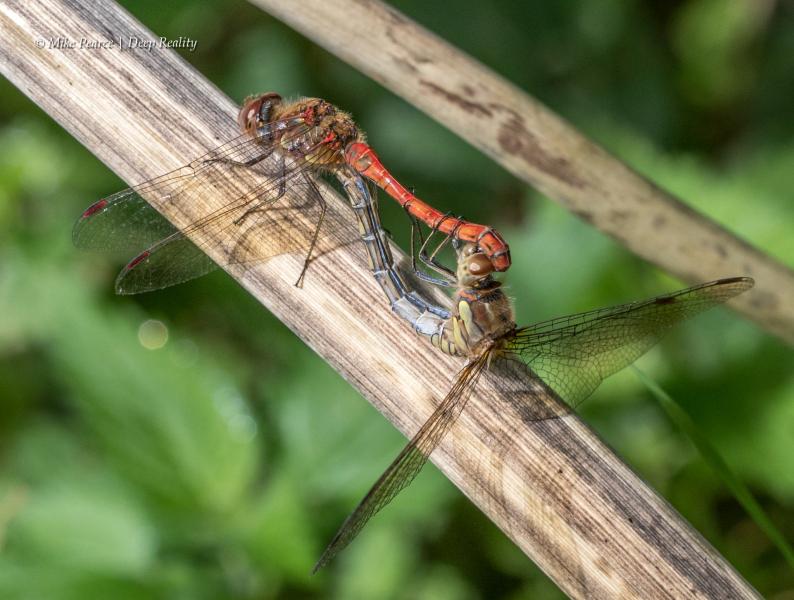 Common Darter, mating