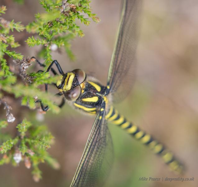 Golden-ringed dragonfly, female. Scotland