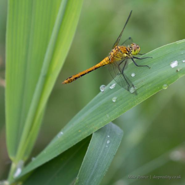 Common darter dragonfly. RSPB Ham Wall