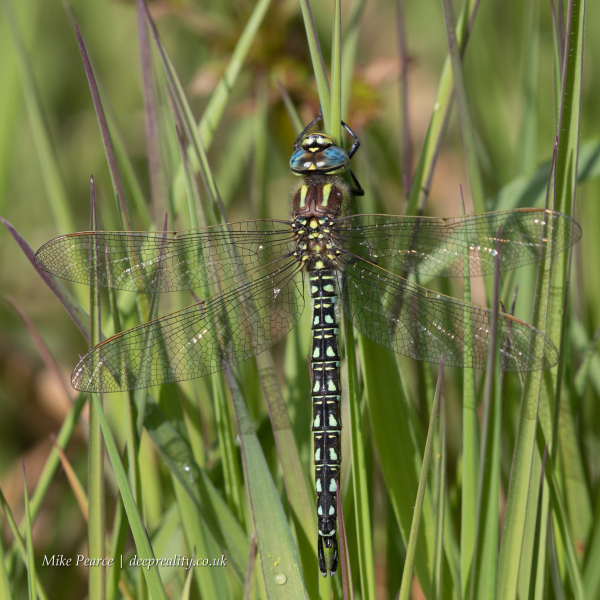 Hairy Dragonfly, male | SWT Westhay
