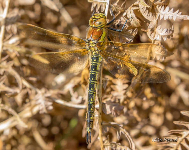 Hairy Dragonfly, female | RSPB Ham Wall