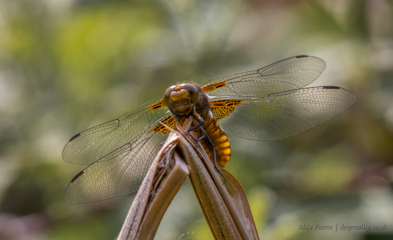 Broad-bodied chaser, female | RSPB Aylesbeare