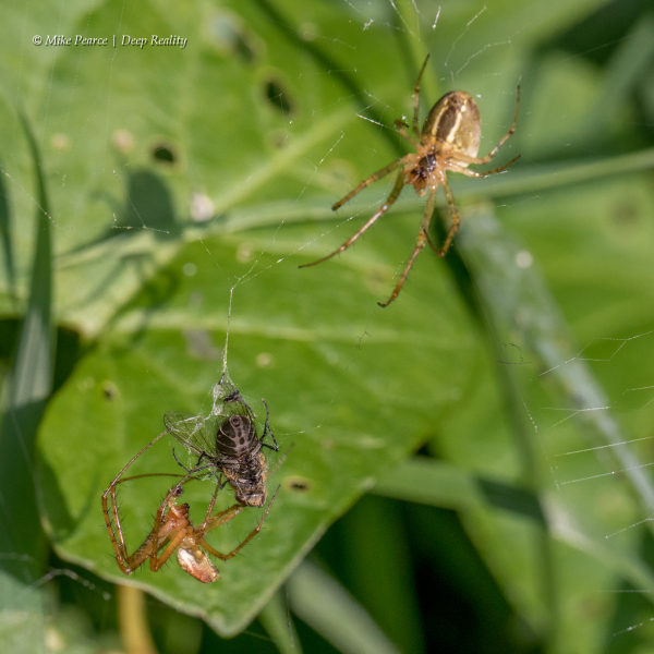 Spiders with fly in web
