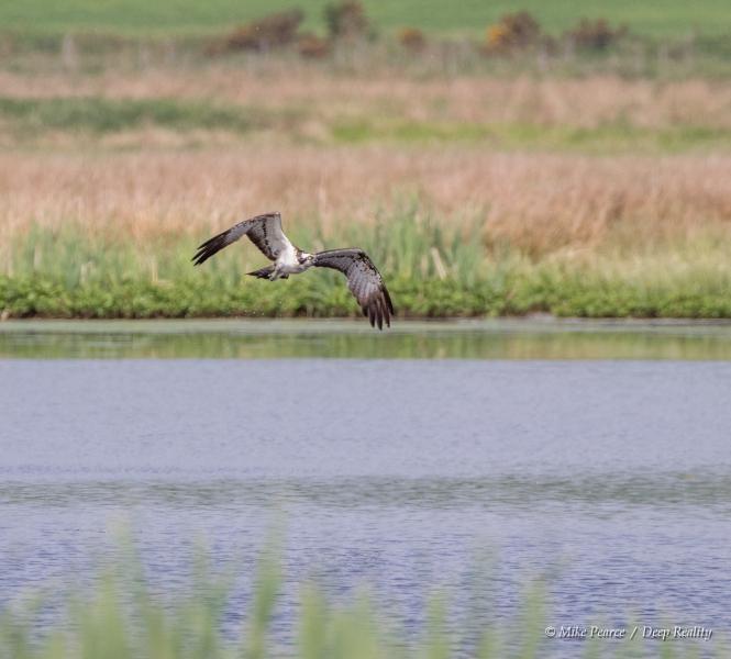 Osprey, RSPB Scotland Loch of Kinnordy