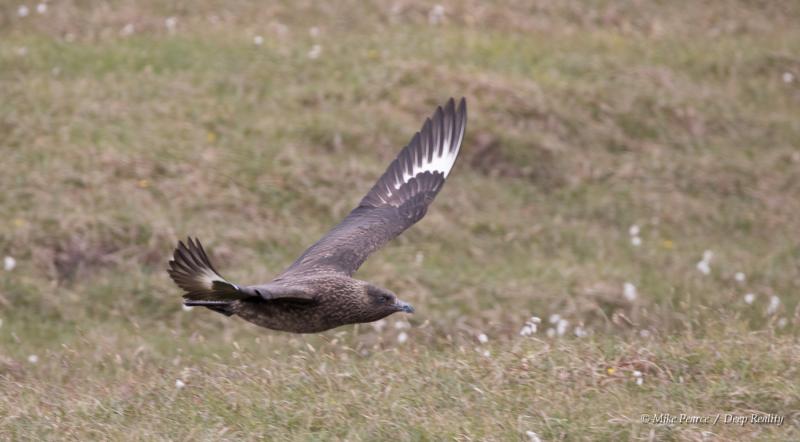 Great Squa ('Bonxie'), Hermaness, Shetland Islands
