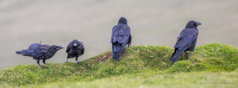 Raven family - 2 adults and 2 juveniles, Hermaness, Shetland Islands