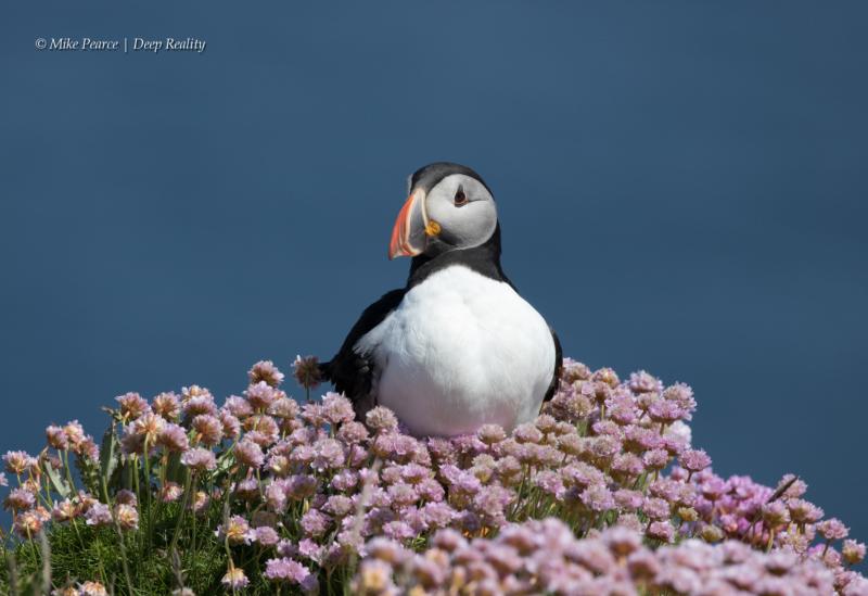 Puffin | Shetland Islands