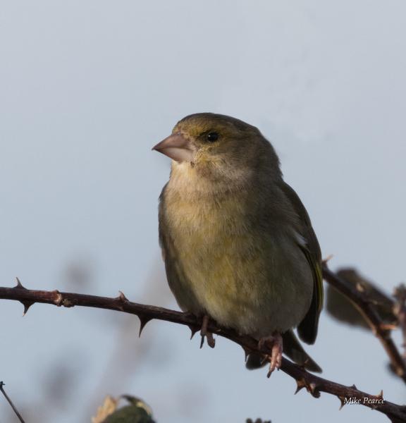 Greenfinch, female