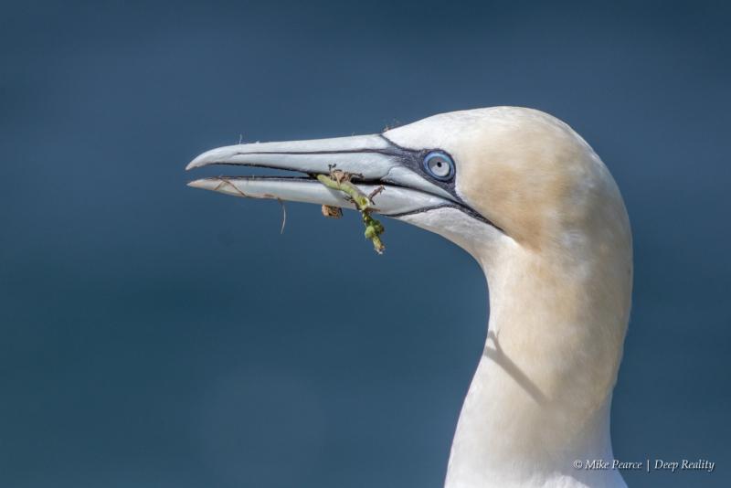 Gannet, RSPB Bempton CLiffs