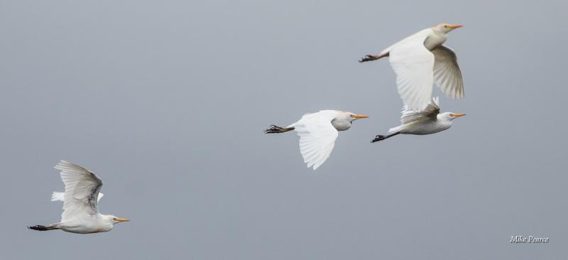 Cattle Egret, SWT Catcott Lows