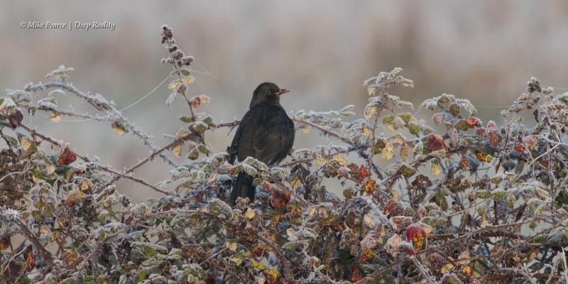 Blackbird, male, RSPB Ham Wall