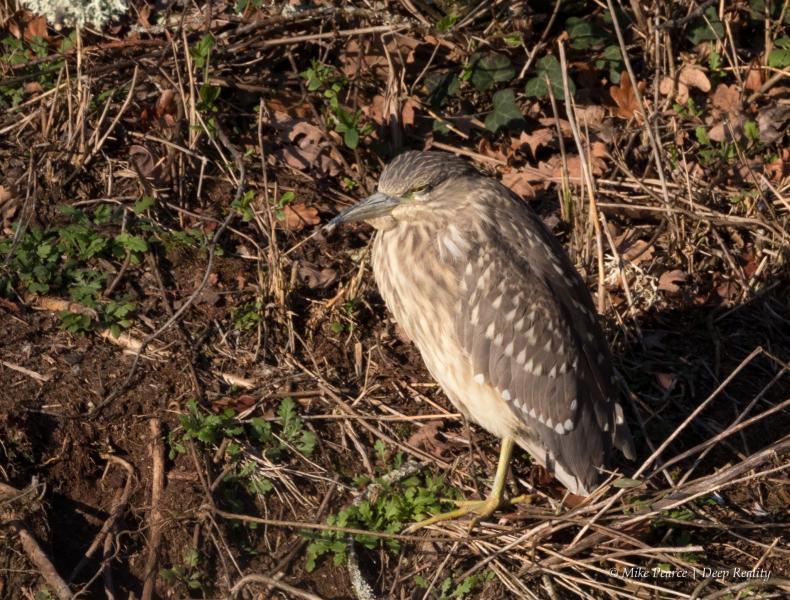 Night Heron, juvenile, Reserve du Teich, France