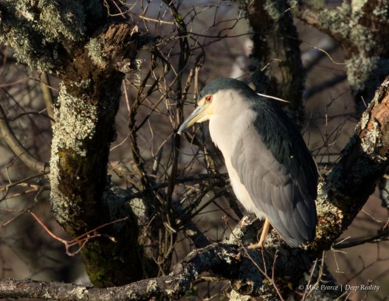 Night Heron, Reserve du Teich, France
