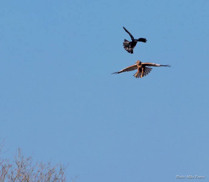 Marsh Harrier mobbed by a Carrion Crow, RSPB Ham Wall
