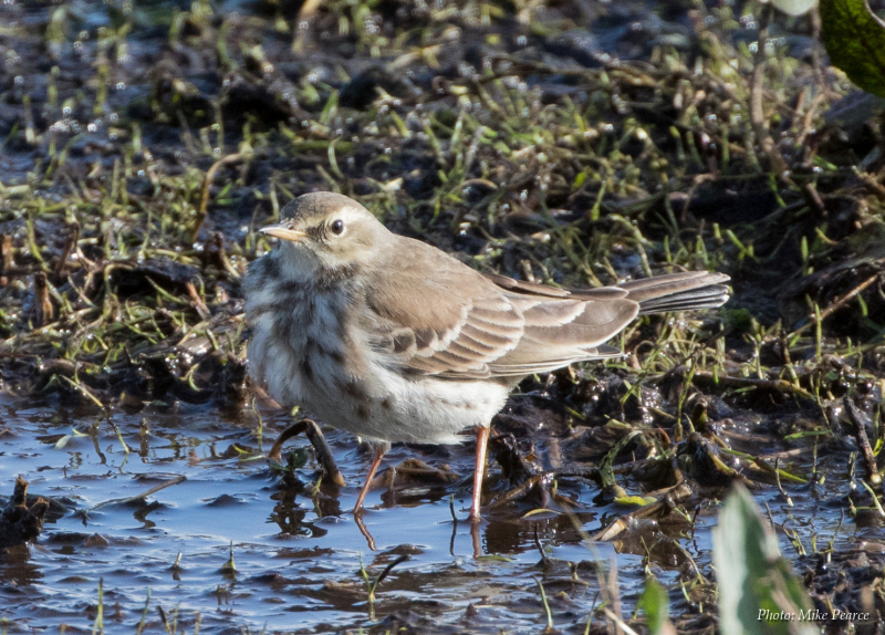 Water Pipit, SWT Catcott Lows