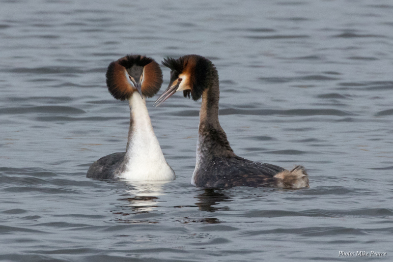 Great Crested Grebe, mirroring display, RSPB Ham Wall