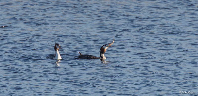 Great Crested Grebe, RSPB Ham Wall