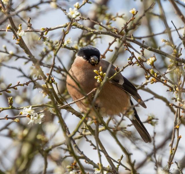 Bullfinch, female, NE Shapwick Heath
