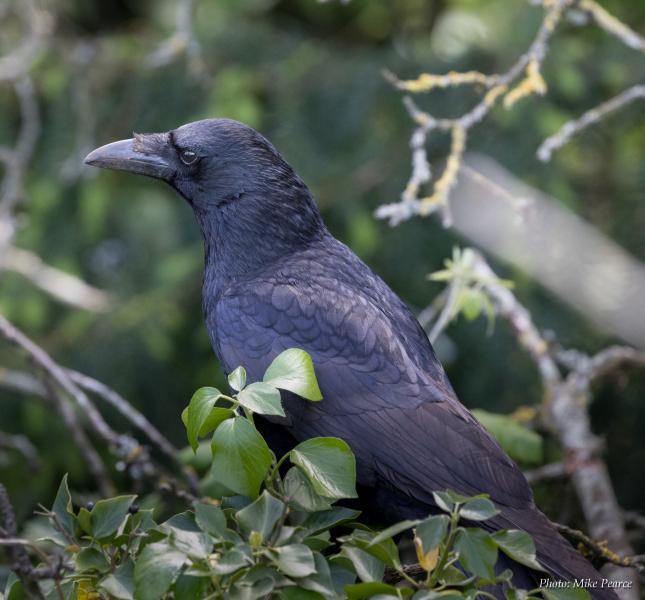 Carrion Crow, Clifton Down, Bristol