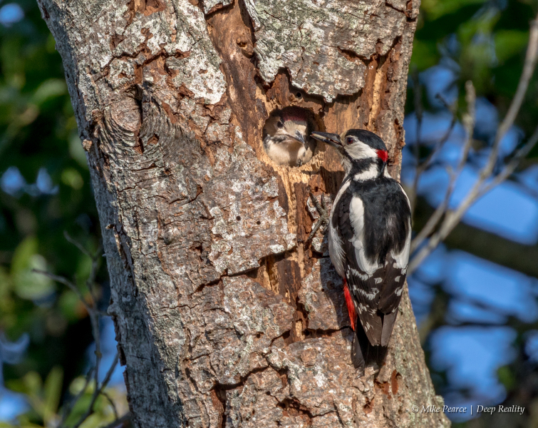 Great spotted woodpecker, male, feeding young. RSPB Ham Wall