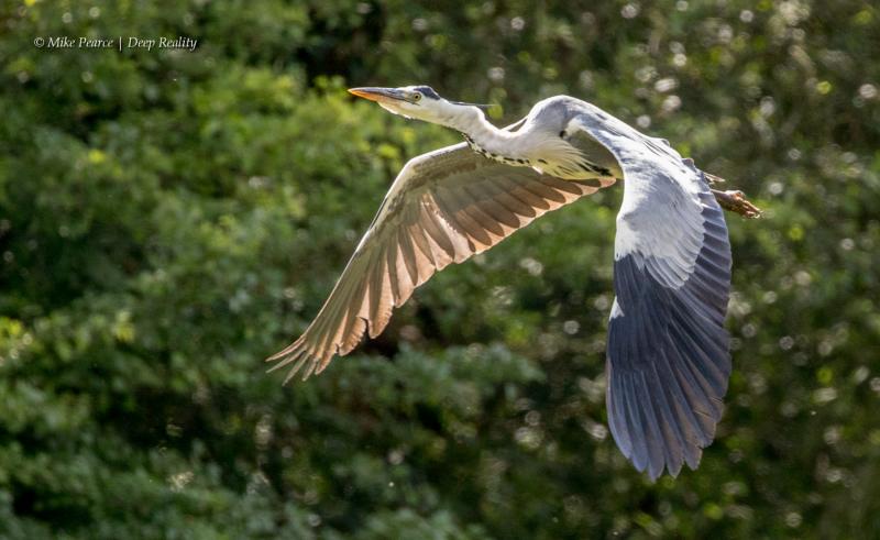 Grey Heron, RSPB Ham Wall
