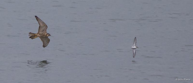 Peregrine Falcon hunting, Northam Burrows