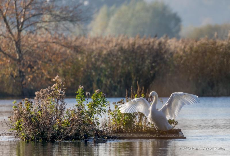 Swan / Lake, RSPB Ham Wall