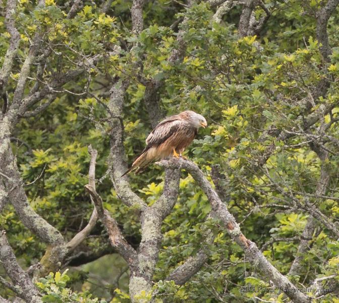 Red kite. RSPB Ynys-hir, Wales