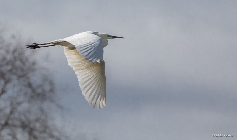 Great White Egret, RSPB Ham Wall