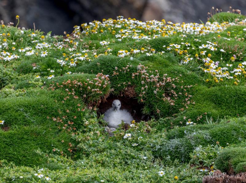 Fulmar Petrel, Isle of Lewis, Hebrides
