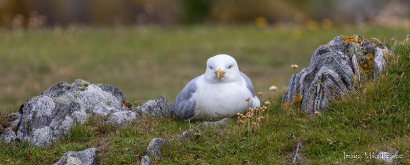 Common Gull or Kittiwake (?)
