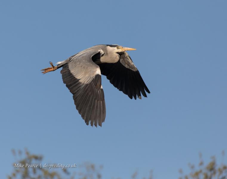 Grey Heron | RSPB Ham Wall